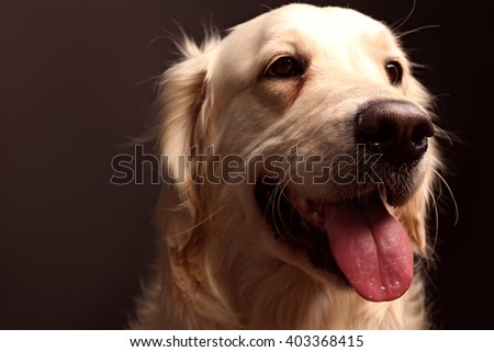 Muzzle of golden retriever on black background, close up - stock photo
