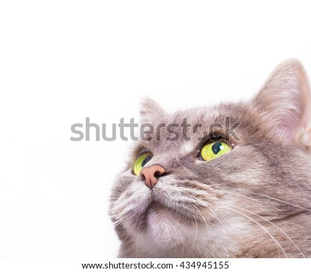 Muzzle of the gray cat looking up. White background, copy space at the left and above - stock photo