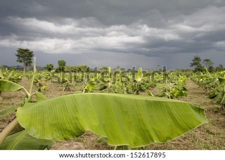 MVUAZI, DEMOCRATIC REPUBLIC OF THE CONGO, MAY 2009: A Banana field, Democratic Republic of the Congo - stock photo