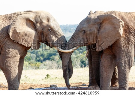 My Brothers - The African bush elephant is the larger of the two species of African elephant. Both it and the African forest elephant have in the past been classified as a single species. - stock photo