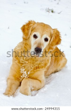 My dog - ? Golden retriever ? in of winter