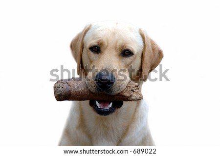 my labrador - stock photo