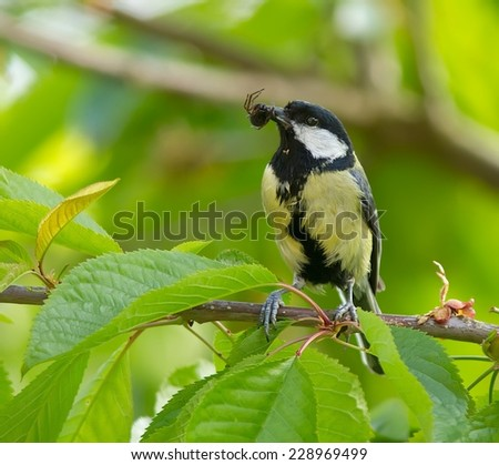 My resident Great Tit with a meal for her babies. - stock photo