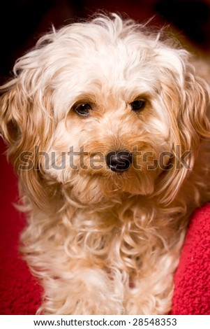 My shelti-poo sitting still for more than 5 seconds - stock photo