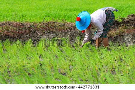 Myanmar farmer collecting seedlings of rice to planting during the rainy season in Thailand.