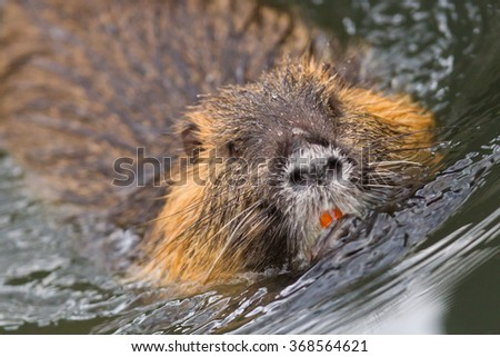 Myocastor coypus, single mammal in it's natural habitat - selective focus