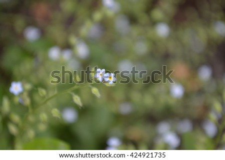 Myosotis. Delicate blue flowers on a blurred background - stock photo