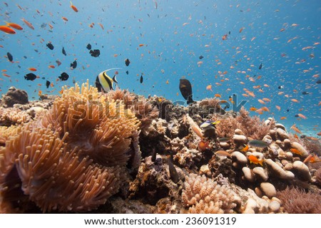 Myriad of reef fish swimming through beautiful aquarium like coral sea landscape of soft and hard corals and anemones on a coral reef in the Indian Ocean, Zanzibar - stock photo