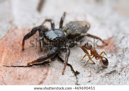 Myrmica ant attacking jumping spider