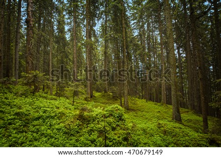 mysterious coniferous forest in Swiss Alps. Beatenberg, Switzerland