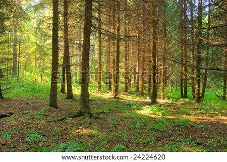 mysterious fir forest with sunlight rays