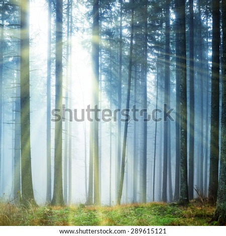 Mysterious fog in the green forest with pine trees - stock photo