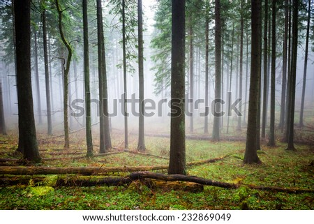 Mysterious fog in the green forest with pine trees, unfocused