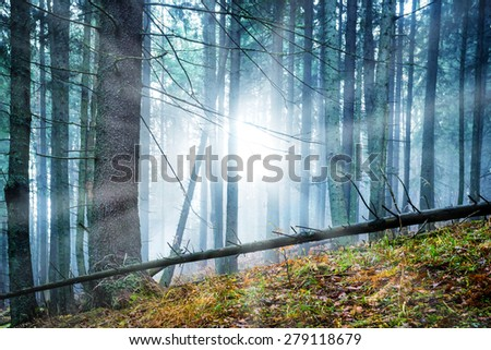 Mysterious fog in the green forest with pines. Sun shining through trees. - stock photo