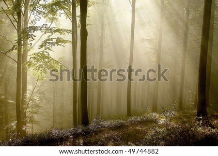 Mysterious forest on the mountain slope with beech trees backlit by the morning sunlight.
