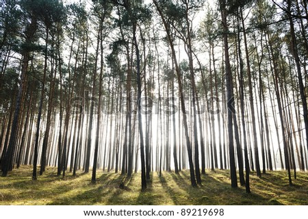 Mystic forest, sun rays entering trough the fog in the morning - stock photo