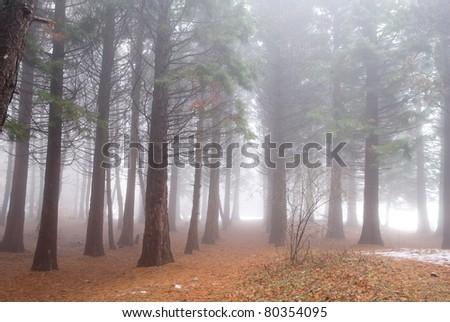 mystic pine tree forest - stock photo