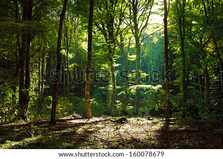 Mystical green forest in the morning with sunbeams through the trees - stock photo