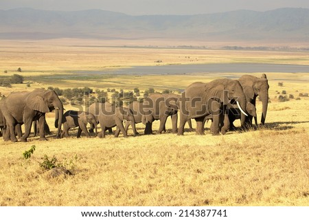 N'gorongorongo elephants, Tanzania - stock photo