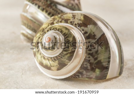 Nacreous green conch shell This pearly seashell reveals stripes of mother-of-pearl as well as a green complex ornamental design  - stock photo