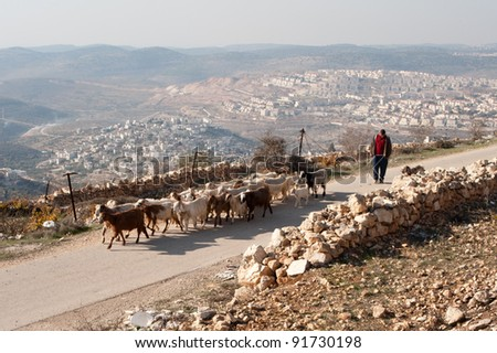 NAHALIN, PALESTINIAN TERRITORIES - DECEMBER 3: A Palestinian herder tends his flocks near the West Bank village of Nahalin, dwarfed by the nearby Israeli settlement of Beitar Illit on Dec 3, 2011. - stock photo