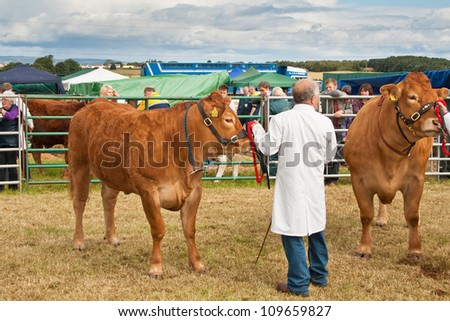 NAIRN, SCOTLAND - JULY 28: An unidentified farmer displays his cattle at the annual Nairnshire Farmers Society show on JULY 28, 2012 in Nairn, Scotland.