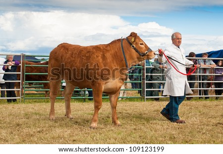 NAIRN, SCOTLAND - JULY 28: An unidentified farmer displays his cow at the annual Nairnshire Farmers Society show on JULY 28, 2012 in Nairn, Scotland. - stock photo