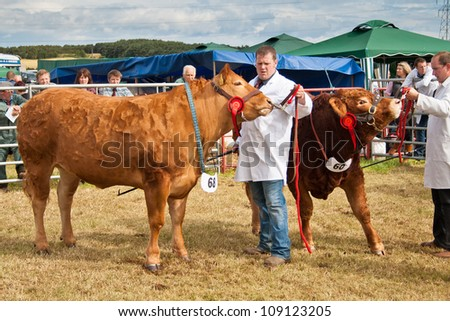 NAIRN, SCOTLAND - JULY 28: An unidentified farmer displays his prize winning cow at the annual Nairnshire Farmers Society show on JULY 28, 2012 in Nairn, Scotland. - stock photo