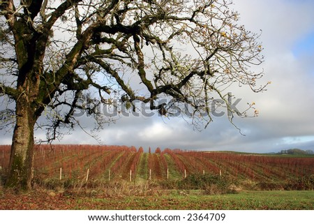 Naked grape vines on a cold winter day - stock photo