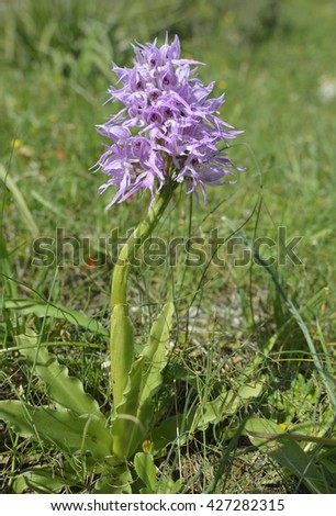 Naked Man Orchid - Orchis italicaFrom the Mediterranean - stock photo