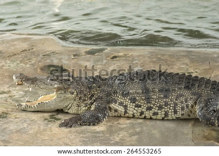 Nakhon Pathom, Thailand - March 1, 2015: A crocodile during dangerous crocodile show in Thailand where human play closely with crocodile - stock photo