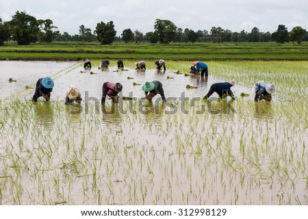 NAKHONRATCHASIMA THAILAND - AUGUST1 : Thai farmers working on rice field at the North - Eastern region Nakhonratchasima, Thailand on AUGUST1, 2011