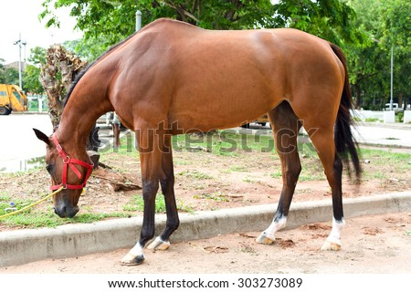 Nakhonratchasima, THAILAND - July 30, 2015 : Horse race eat grass for gather energy.