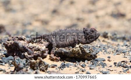 Namaqua Chameleon hunting in the Namib desert, Namibia - stock photo