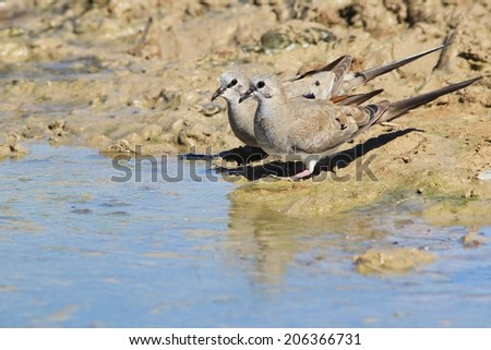 Namaqua Dove - African Wild Bird Background - Colors from Nature