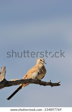 Namaqua Dove - African Wild Bird Background - Perch of Peace and Symbolic Freedom