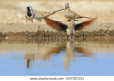 Namaqua Dove - African Wild Bird Background - Wings of Life - stock photo