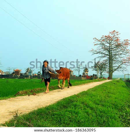 NAMDINH, VIETNAM APRIL 05: unidentified farmer leads a cattle on the village road on April 05, 2014 in Namdinh, Vietnam.