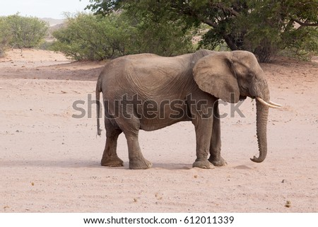 Namib desert elephants of Namibia africa