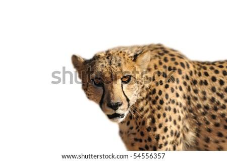 Namibia - cheetah on a white background - stock photo