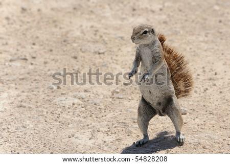 Namibia, Etosha nat. park, close up of squirrel - stock photo