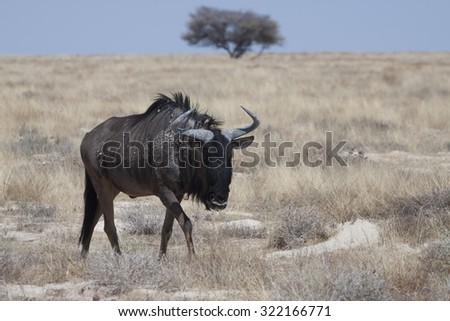Namibian blue wildebeest antelope with long horns in the dry savanna of Etosha National Park, Namibia, Africa - stock photo