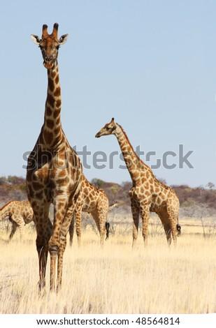Namibian wild life, Etosha park, dry season - stock photo