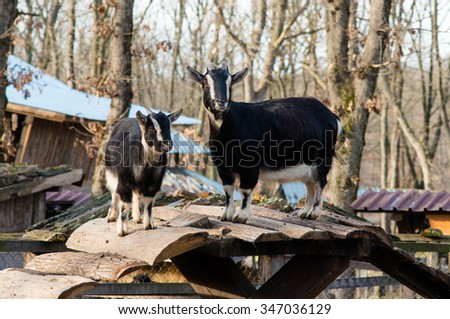 nanny goat and nanny goat in aviary of the zoo - stock photo