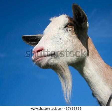 Nanny Goat - portrait - stock photo