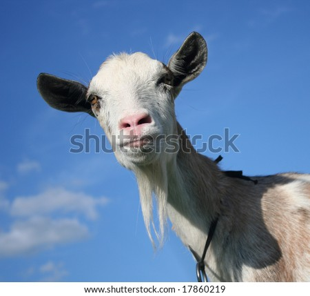 Nanny Goat - portrait on the blue sky background - stock photo