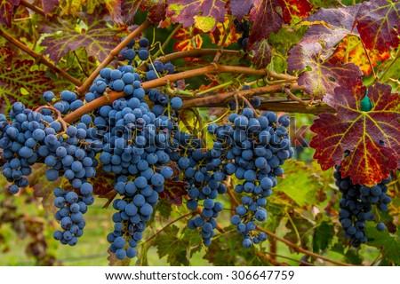 Napa Cabernet Grapes - stock photo