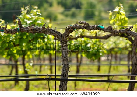 Napa Grape Vine in Spring