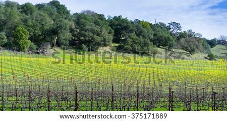 Napa landscape during winter (california) - stock photo