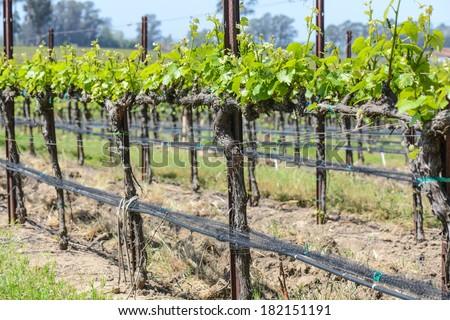 Napa Valley  California Vineyard in Spring - stock photo